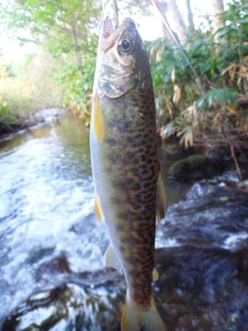 P1080031_7 イトウの幼魚ではなくて、ヤマメとイワナの交雑種みたいです。   北海道..